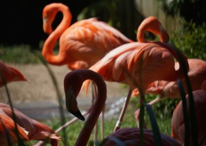 2015-zoo-flamingo-seibel