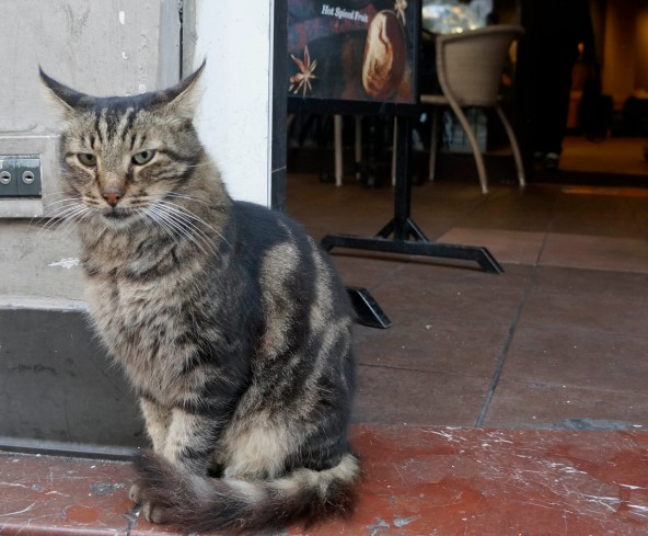 A cat outside of Starbucks on the Istiklal Caddesi
